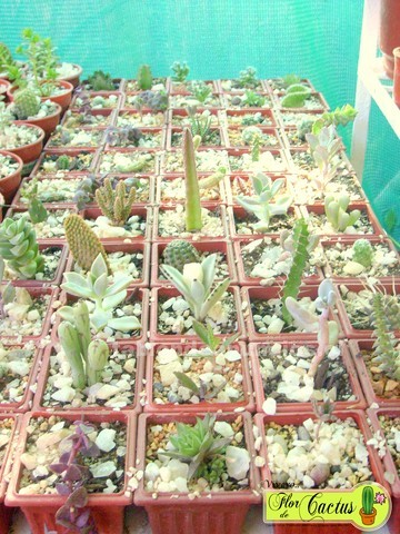 "Foto Venta de cactus, ""vivero flor de cactus"", la reina stgo. Terraza ..."