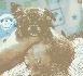 Dos veterinario comprobado chihuahua cachorros para su aprobación