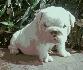 Iglésn bulldog  cachorro