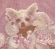 Chihuahua pata adoption