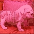 Hombres y mujeres bulldog inglés cachorros para su aprobación