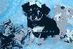 Adorable chihuahua cachorros