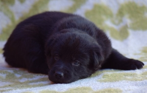 Foto Cachorros labrador