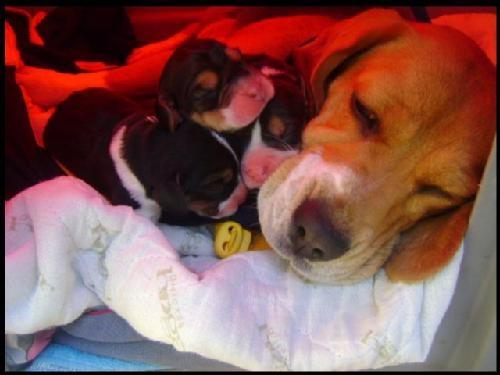 Foto Vendo hermosos cachorros beagles