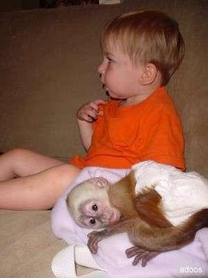 Foto Hermoso bebé monos capuchinos para su aprobación