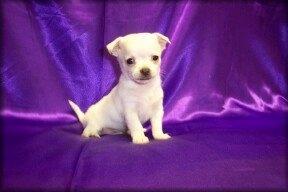Foto Chihuahua adorable para su aprobación