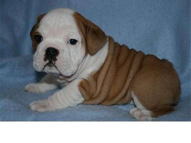 Foto Excelente bulldog ingles para adopción