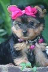 Foto Por favor que me ayude adopten dichas lindo hermoso y adorable yorkie cachorros, por favor