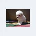 Foto Necesito comprar poodle