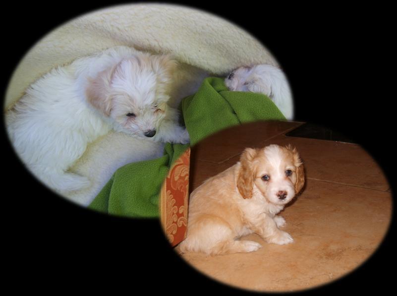 Foto Vendo cachorritos cocker y poodle