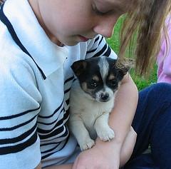 Foto Chihuahua inglés cachorros para su aprobación