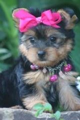 Foto Super hermosa yorkie cachorros para su aprobación