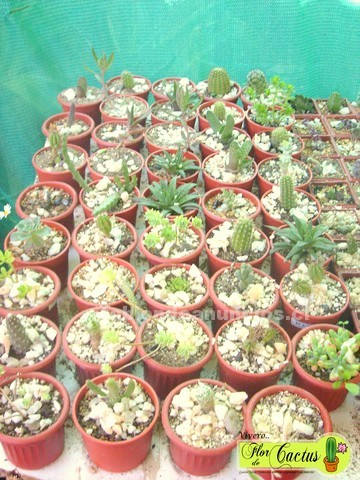 "Foto Venta de cactus, ""vivero flor de cactus"", la reina stgo."