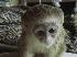 Mujeres mono capuchino para la adopción.
