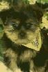 Super hermosa yorkie cachorros para su aprobación