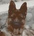 Busco perro pastor aleman adulto