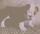 Bulldog inglés cachorros para adopción