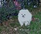 Pomerania cachorro para su aprobación