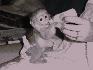 Hombres y mujeres bebé monos capuchinos(150€)