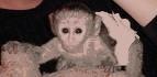Bebé monos de capcuhin para la venta
