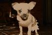 Hhemos chihuahua cachorro