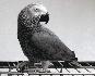 Grey parrot para la adopción