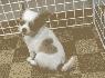 Hermoso cachorro de chihuahua
