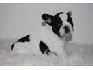 Francés toro cachorros de perro para su aprobación