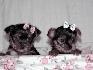 Masculino y femenino taza de té yorkie cachorros para su aprobación Animales/Mascotas