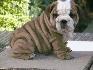 Bulldog inglés cachorros para su aprobación