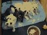 Cachorros bulldog francés para la venta.